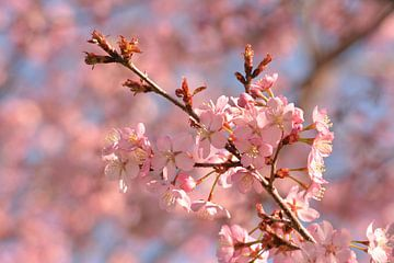 Kirschblüte in voller Blüte im Frühjahr von Klaas Dozeman