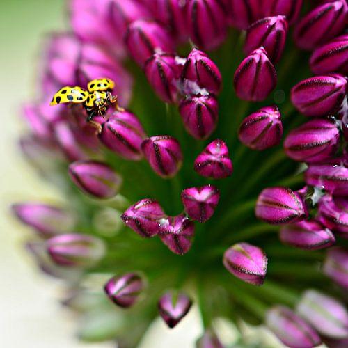 Geel lieveheerstbeestje op sierui