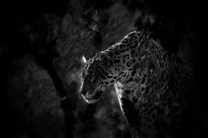 Jaquar menber of the genus Panthera van René Koert