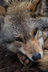 portret wolf van Maarten Starink Photography