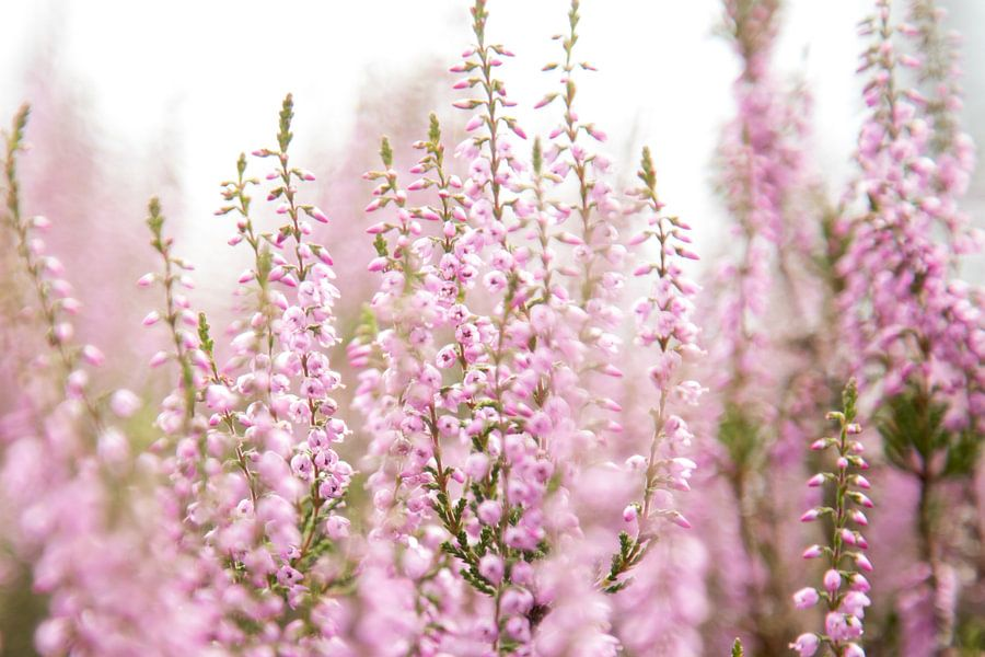 Bloeiende paarse heide bloemen