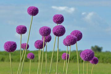 Purpurrote Lauch Giganteum-Blumen auf einem Gebiet von Ronald Smits