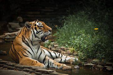 Un beau tigre, un grand chat prédateur sur Michael Semenov