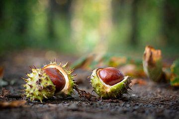 Kastanien, die gerade vom Baum gefallen sind von Michel Geluk