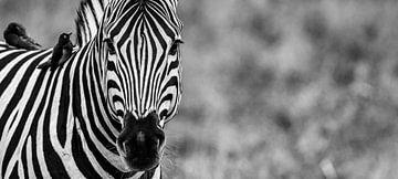 Intense strepen - een zebra portret van