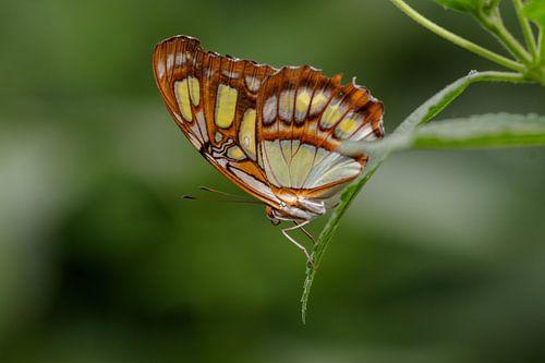 Papillon malachite