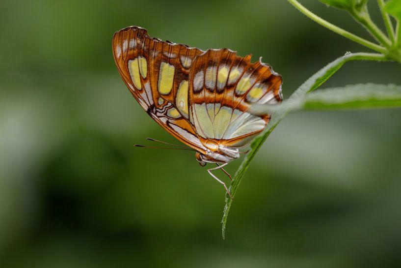 Papillon malachite sur Anjo ten Kate