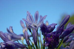 violette Blume, blaue frische Sommerluft