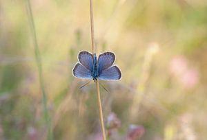 Vlinder (Heideblauwtje) in zomers veld