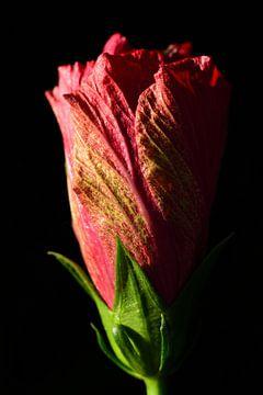Deux fleurs d'hibiscus