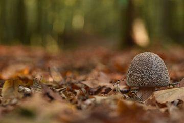 Wulstling in Laub und Nadelstreu von Stefan Wiebing Photography