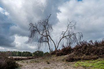 Berkenboompjes in Soesterduinen van nol ploegmakers