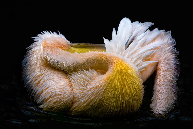 Pelikan von nilix fotografie