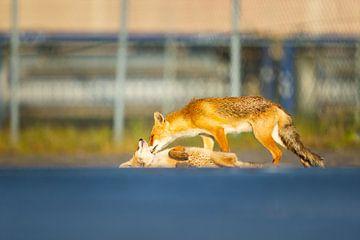 des renards qui font des câlins