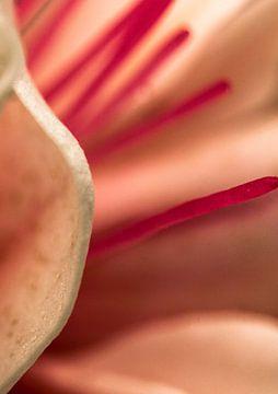 Fuchsia van Wim Lanphen