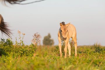 Paarden | Konikpaard veulen Oostvaardersplassen van Servan Ott