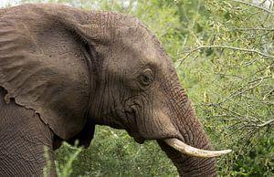 Olfiant, Kruger Park Zuid Afrika