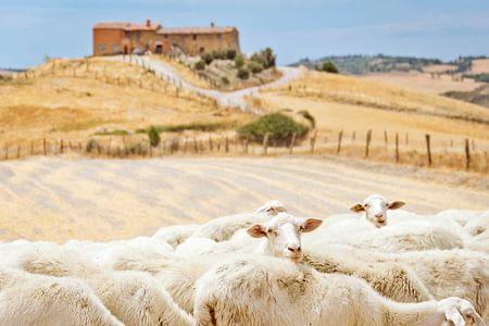 Sheep looking at you in Tuscany, Italy
