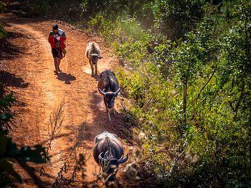 Op pad met de buffels in de heuvels van Kalaw Myanmar van Rik Pijnenburg