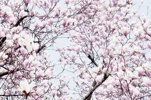 Magnoliabloesem lentebloesem I