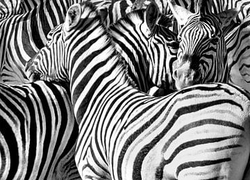 Zebras von Alex Neumayer
