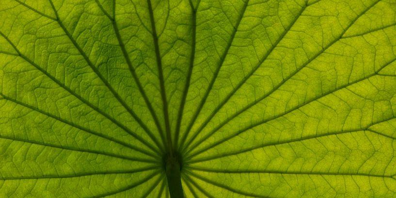 Lotus van Claudia Moeckel