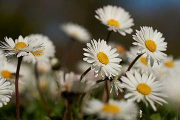 Blühende Gänseblümchen im Frühjahr von Cor de Hamer
