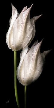 tulipes blanches sur Christine Nöhmeier