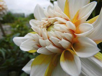 Dahlia wit en geel van