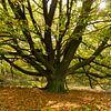Een oude Beukenboom aan het begin van de herfst van Erna Böhre thumbnail