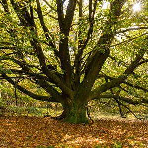 Een oude Beukenboom aan het begin van de herfst