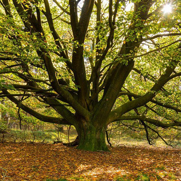 Een oude Beukenboom aan het begin van de herfst van Erna Böhre