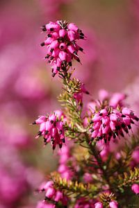springtime! ... pink, pinker, pinkest IV van