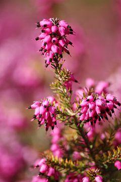 springtime! ... pink, pinker, pinkest IV van Meleah Fotografie