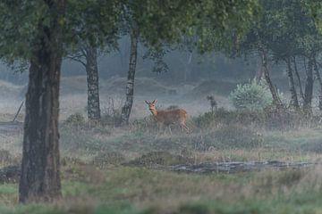 Reegeit (Capreolus capreolus) - Roe deer