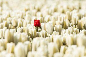 Eenzame rode tulp in het wit