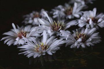 Herbstliche Astern-Blüten von Pim van der Horst