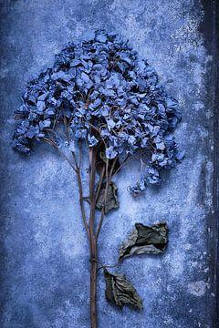 Getrocknete Hortensien auf Zink von Karel Ham