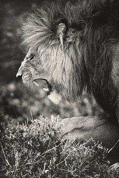 Männlicher Löwe in der Masai Mara, Kenia. von Louis en Astrid Drent Fotografie