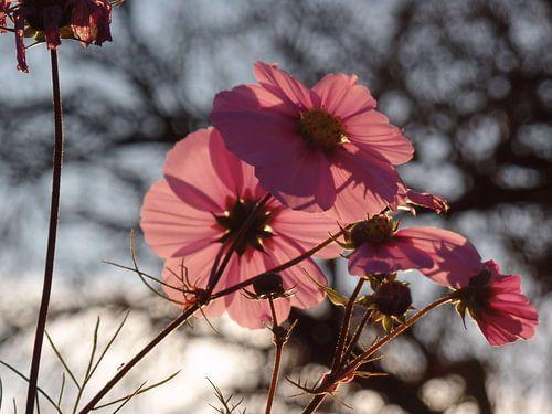 Blüten  von