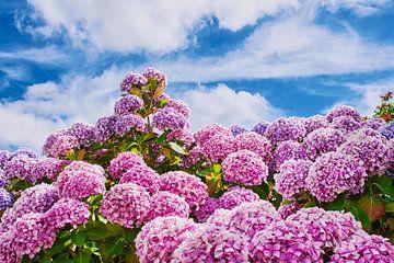rosa Hortensien vor blauem Himmel von C. Nass