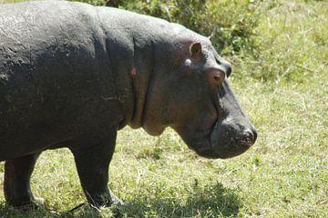 nijlpaard kwam heel dicht bij van Laurence Van Hoeck