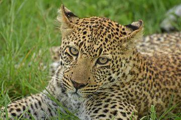 Leopard im Gras von Esther van der Linden