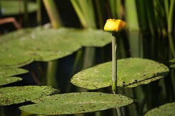 Gele waterlelie van Ewan Mol