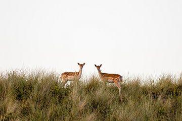 Twee damherten in de duinen van Marcel Alsemgeest