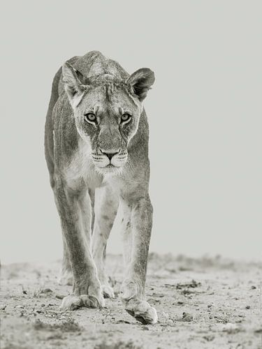 Focus - leeuw in zwart-wit