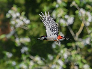 Grote Bonte specht  / Great spotted woodpecker van Henk de Boer