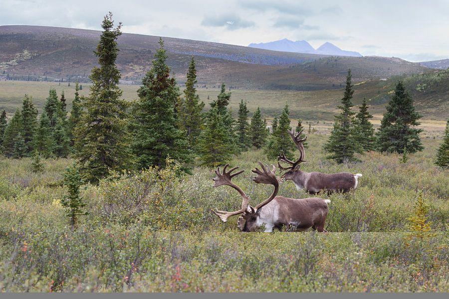 Een rendier of kariboe in Alaska van Menno Schaefer