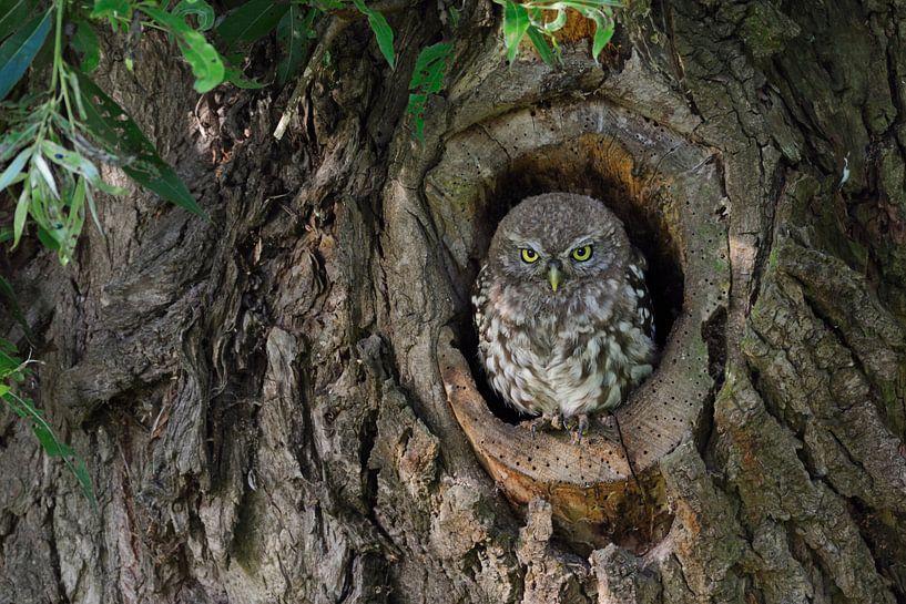 Little Owl * Athene noctua * in its tree hollow van wunderbare Erde