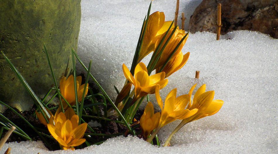 Krokus im Schnee van Rosi Lorz